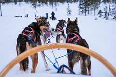 Norway Husky Adventure (Amren1985) Tags: norway trondheim koppera husky adventure sled riding snow cold panasonic gx80 micro four third winter panasonic1235mmf28x 28 x lens dogs dog driving animals cool gx 80