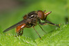 15 Rhingia - Best2017 (Neil Phillips) Tags: diptera heinekenfly hoverfly insecta rhingia arthropod arthropoda bug flies fly hexapod insect invertebrate longnosed nose pinocchio redeyed snout snouthoverfly