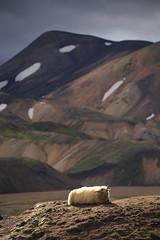 20170802-Canon EOS 6D-1681 (Bartek Rozanski) Tags: landmannalaugar sudurkjordaemi iceland fjallaback sheep animal rock mountains icelandic light
