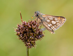 Chequered Skipper (Lutra56) Tags: chequeredskipper carterocephaluspalaemon skipper ardnamurchanwestscotland butterflies butterfly lepidoptera nature naturephotography insects macro
