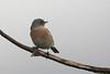 Western Bluebird (dennis_plank_nature_photography) Tags: backyard westernbluebird