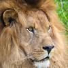 Parque de Cabárceno (marianoabad1) Tags: cantabria naturephotography anímales fotografíadenaturaleza naturaleza nature tamron150600mm canon7dmarkii felinos carnívoros mamíferos leon cabárceno