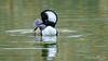 Hooded Merganser (Bob Gunderson) Tags: birds california divingducks ducks goldengatepark hoodedmerganser lophodytescucullatus mallardlake mergansers northerncalifornia sanfrancisco
