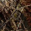 Golden-crowned Kinglet (Dendroica cerulea) Tags: goldencrownedkinglet regulussatrapa regulus regulidae reguloidea passerida passeri passeriformes psittacopasserae eufalconimorphae aves birds kinglet winter johnsonpark highlandpark middlesexcounty nj newjersey