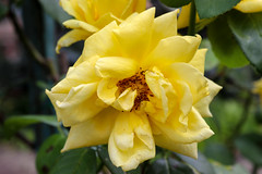 Vacances_0327 (Joanbrebo) Tags: riquewihr grandest francia fr alsace hautrhin canoneos80d eosd efs1855mmf3556isstm autofocus flors flores flowers fleur fiori blumen blossom rosa rose