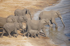 Elephants Going for a Dip (Nick_Leonard) Tags: botswana africa southernafrica chobenationalpark travel 2017 safari animals wildlife nature