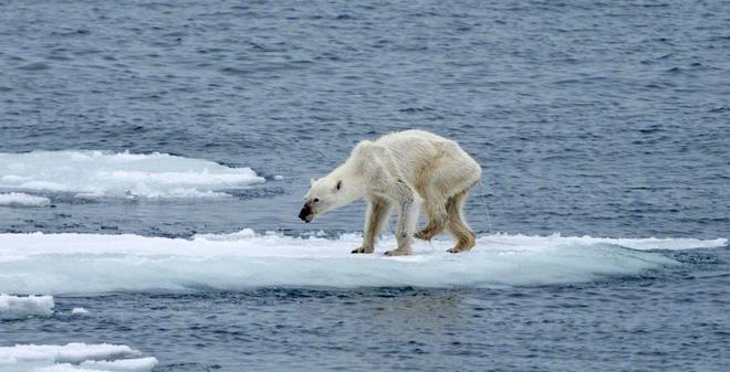Gấu Bắc cực gầy dơ xương lê lết kiếm ăn vì đói - lời cảnh tỉnh đáng sợ với con người về biến đổi khí hậu - Ảnh 4.