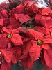 c2017 Dec 13, Christmas at Lowes Iphoneography 10 (King Kong 911) Tags: red poinsettia lowes christmas snoopy flowers menions minniemouse lovedeer