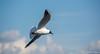 Fly (Bilel Tayar) Tags: seagull gull sky fly flying bird birds nature wildlife sealife lif animal nikon nikond5200 tamron tamron18270 mouette mer ciel envol vol ailes oiseaux faune vie photographie animaliere