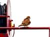 ROO_0153 (Capt. Remegio Ocmen Jr.) Tags: bird birdphotography birdlover lovebird beautifulbird birdsphotography birdtags wildlife wildbirds beautifulnature beautifulnaturephotography naturelover birdwatching nikonbirds nikondslr nikoncamera nikonphotography birding wildlifephotography birdwatcher nikonwildlife birdphotos birdworld animalphotography birdcapture