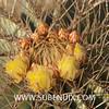 Echinocactus grussonii-6 (SUBENUIX) Tags: cactaceae echinocactusgrussonii suculentas subenuix subenuixcom planta suculent suculenta botanic botanical