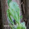 Opuntia vulgaris (SUBENUIX) Tags: cactaceaeopuntias opuntiavulgaris suculentas subenuix subenuixcom planta suculent suculenta botanic botanical