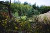 Wind-Bent Wilderness (janmalteb) Tags: deutschland germany fischland dars prerow zingst weststrand strand beach wind bent blumen flowers bäume trees natur nature ostsee baltic sea