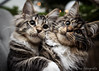 Happy Holidays everybody !! (Ronald Dubbeldam) Tags: cats kittens