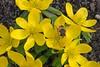 A fly inspecting a winter aconite. (Bienenwabe) Tags: winteraconite aconite eranthishyemalis eranthis ranunculaceae fly fliege garden flower macro bright winterling