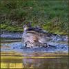 Sparrowhawk (image 3 of 3) (Full Moon Images) Tags: raspy sandy lodge thelodge wildlife nature reserve bedfordshire bird birdofprey pool pond bath bathing washing sparrowhawk