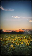 HOME 11 (jazz Ferry) Tags: jazzfotograff jasonferry canoneos canon5dmark3 canon5dmarkiii canon french photoofyourday flickr landscape sunflower sunflowers flower flowerpower hippie garden bédarrides farm sunset sun