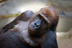 Gorilla (ingrid eulenfan) Tags: leipzig gorilla affe tier animal monkey zoo 75300mm sony