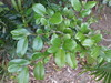 Diospyros geminata (tanetahi) Tags: native ebony hardwood ebenaceae diospyros queensland diospyrosgeminata dryrainforest tree
