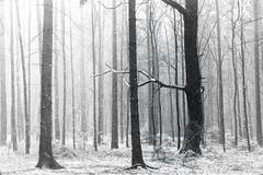 Base Element of Recognition (Petr Sýkora) Tags: les sníh zima forest trees contrast blackwhite nature snowing winter czech
