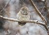 Locked on...{Explored} (DTT67) Tags: barredowl owl snowfall bird birdofprey forest wildlife animal nature nationalgeographic canon 1dxmkii