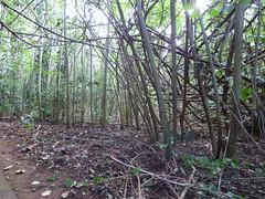 Wailua River State Park - Fern Grotto (11) (pensivelaw1) Tags: hawaii kauai wailuariverstatepark ferngrotto