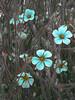 Pastel Blues (Steve Taylor (Photography)) Tags: art digital blue green pastel brown grey asia singapore flower plant flora