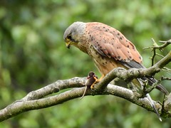 Kestrel and prey (PhotoLoonie) Tags: kestrel bird wildbird nature wildlife nikon falcon birdofprey