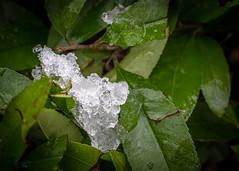 8265 (1 of 1) (sallyjane6) Tags: snow snowyday newlife buds winter bedford holly macro closeup