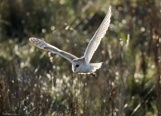 Barn Owl At Dawn