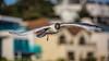First leg of Flight (JKmedia) Tags: black headed gull flight inflight boultonphotography poole 2017 bird avian seabird
