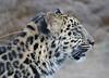 Charlie (greekgal.esm) Tags: amurleopard leopard fareasternleopard bigcat cat feline animal mammal carnivore charlie axel axle sandiegozoo sdzoo sandiegozooglobal sdzglobal sandiego sony rx10m3 rx10iii africarocks