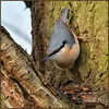 Nuthatch (image 3 of 3) (Full Moon Images) Tags: rspb sandy lodge thelodge wildlife nature reserve bedfordshire bird nuthatch