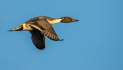 Pintail Duck. (Jez Nunn) Tags: northernpintailduckbirdinflightflyingwildlifenature