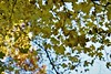 Foglie (momentofconnection) Tags: tree leave nature nikon nikonist italia acero acer sky