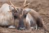 2017-11-16-Artis-0005.jpg (BZD1) Tags: natuur dieren nature rangifertarandus rendier mammal zoo reindeer artis amsterdam animal noordholland nederland nl