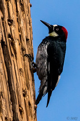 Here Come the Clowns (MelRoseJ) Tags: acornwoodpeckers woodpeckers a77ii alpha autofocus sonyalpha sony sonyilca77m2 nature northerncalifornia birds bayarea