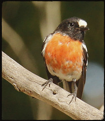 Scarlet Robin (Griffins Photos) Tags: scarlet robin bird red breast australian