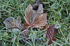 Frosted leaves IMG_1206 (twoislandliving) Tags: weather ice leaves hillsborough ireland