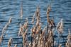 Berlin, Marzahn: Schilf im Wind am Wuhleteich - Reeds in the wind on the Wuhle Lake shore (riesebusch) Tags: berlin marzahn