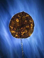 the last autumn leaf (Ichi De) Tags: thelast autumn leaf lines life smoke light longexposure blue accent vintagelens manualfocus still