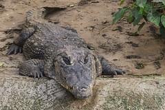 ASPETTANDO    ----    WAITING (Ezio Donati is ) Tags: animali animals acqua water pericolo danger cespugli bushes laguna lagoon africa costadavorio assinielagunes