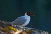 Black-headed gull // Chroicocephalus ridibundus // Hettemåke (charlottebh) Tags: chroicocephalusridibundus blackheadedgull seagull bird norway hettemåke