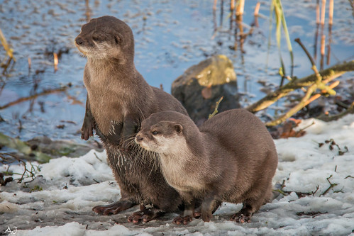 Aziatische kleinklauw otter - Natuurpark