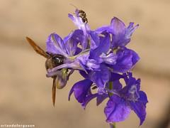Xylocopa violacea, male (Orlando Bees) Tags: apidae holzbiene carpenterbee solitarybee abejorro carpintero
