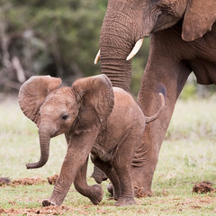 Come On, Mom! (ImagesOfTheWild) Tags: addoelephant addoelephantnationalpark africa africanelephant big5 loxodontaafricana southafrica adult baby elephant mammal mother nature wild wildlife young