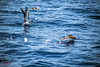Doves (Redhood Photography) Tags: dolphin whale wal whalewatching watching sichtung delfin meer wasser water sea ozean live life wild wildlife