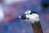 pastel bokeh (stellagrimsdale) Tags: goose bokeh bokehlicious pastel pinks blues colours softcolours softtones beak bird wildlife pastels waterfowl amimal hss
