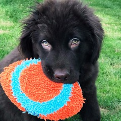 "Jax Newfoundland puppy 13 weeks new student SBK9U • <a style=""font-size:0.8em;"" href=""http://www.flickr.com/photos/95808399@N03/38254017424/"" target=""_blank"">View on Flickr</a>"