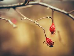 WItness of the warmer times (Petr Horak) Tags: novýknín středočeskýkraj czechia cze rose rosehip plant nature closeup f12 mzuikopro mzuiko olympus penf winter